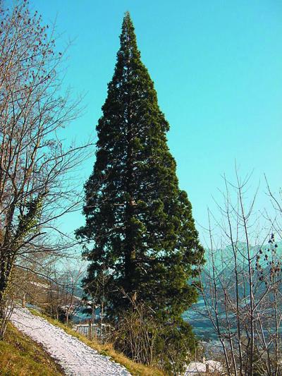 mammutbaume.jpg