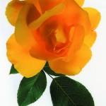 rose-krebshilfe